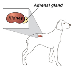 diagram of kidney and adrenal gland in dog